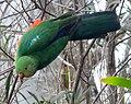 Australian King Parrot. Alisterus scapularis - Flickr - gailhampshire.jpg