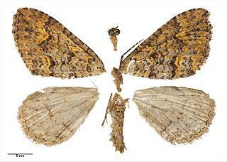 <i>Austrocidaria</i> genus of insects
