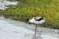 Avocet (Recurvirostra avosetta) juvenile.jpg