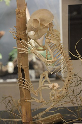 Strepsirrhini - Aye-aye (Daubentonia madagascariensis) skeleton at the Museum of Osteology