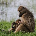 Baboons, Chobe National Park, Botswana - 3 (37871573425).jpg