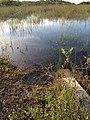 Baby Alligator - panoramio (1).jpg
