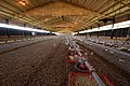 Baby chickens in a grower broiler house. (24481449624).jpg