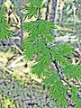Bald-Cypress leaves (2970135914).jpg