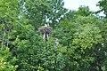 Baltā stārķa ligzda Nr.3006, Mālpils, Mālpils pagasts, Mālpils novads, Latvia - panoramio (1).jpg