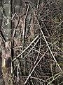 Bambus blumean 160602-58967 ponr.JPG