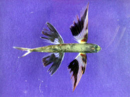 Band-wing flyingfish