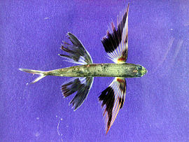 Band-wing flyingfish.jpg
