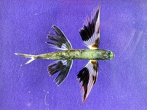 De evolutietheorie - Pagina 3 300px-Band-wing_flyingfish