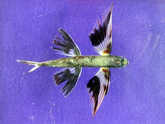 Flying and gliding animals - Band-winged flying fish, with enlarged pectoral fins