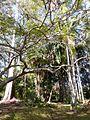 Bangalow Palms in Heritage Park.jpg