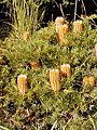 Banksia 'Birthday Candles'.jpg