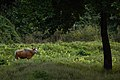 Banteng bull, Bos javanicus in Huai Kha Khaeng wildlife sanctuary (22884208474).jpg