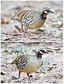 Bar-backed Partridge male and female.jpg