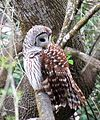 Barred Owl (27026277186).jpg