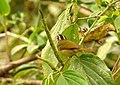 Basileuterus tristriatus (Arañero cabecilistado) (15005853129).jpg
