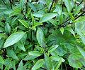 Basilic anis.JPG