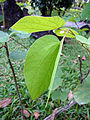 Bauhinia acuminata (3).JPG