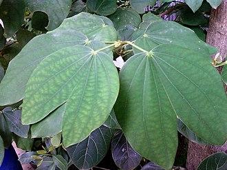 Bauhinia variegata - Image: Bauhinia variegata Devakanchanam leaves Bhadrachalam