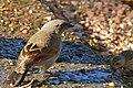 Bay-winged Cowbird (Agelaioides badius) coming to drink ... (31223416220).jpg