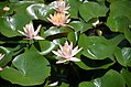 Beautiful water lilies on the Xixi Wetland Park (36443482612).jpg