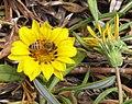 Bee finds it hard to get pollen-01+ (266266541).jpg