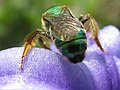 Bee on hyacinth 1.jpg