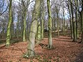 Beech trees, Manor Hills wood - geograph.org.uk - 1176446.jpg