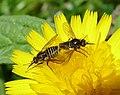 Beeflies mating. Usia species (31677811070).jpg
