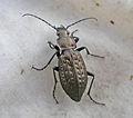 Beetle (62630724).jpg