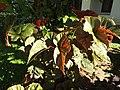 Begonia angel wing-2-polonnaruwa-Sri Lanka.jpg