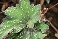 Begonia rex 5zz.jpg