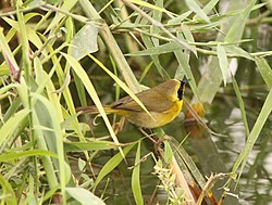 Belding's Yellowthroat, Estero San Jose, San Jose del Cabo, Mexico, 25 February 2014 (12921394324).jpg
