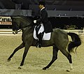 Belgian warmblood whitni star.JPG