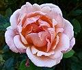 Belle de Londres aux Jardins de Bagatelle.JPG