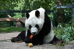ジャイアントパンダ(中国四川省成都の成都大熊猫繁育研究基地)