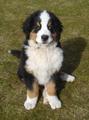 Berner Sennenhund mit Iris-Heterochromie.png