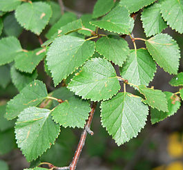 Betula occidentalis 3.jpg