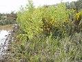 Betula pendula Roth (AM AK294867-2).jpg