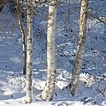Birch trunks in snow and sunshine.jpg