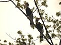 Bird Great Hornbill Buceros bicornis pair 03.jpg