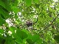Bird White throated Brown Hornbill Anorrhinus austeni IMG 8142 13.jpg