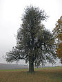 Birne Thüngen, 2.jpg