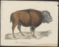 Bison americanus - 1700-1880 - Print - Iconographia Zoologica - Special Collections University of Amsterdam - UBA01 IZ21200219.tif
