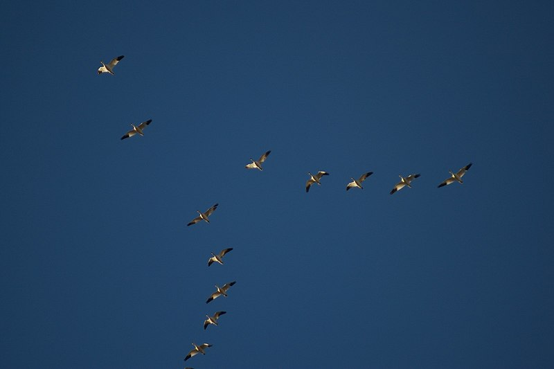 File:Bitter Lake Birds Flying In Formation.jpg
