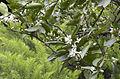 Bitter orange - Citrus aurantium 05.JPG