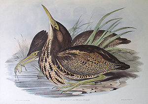 Gould lithograph of a pair of Australasian Bitterns