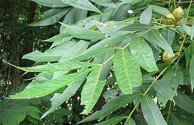 Bitternut-leaves-and-fruits.jpg