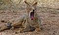 Black-backed Jackal (Canis mesomelas) (6511378215).jpg