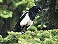 Black-billed magpie - Alberta June 16, 2013.JPG